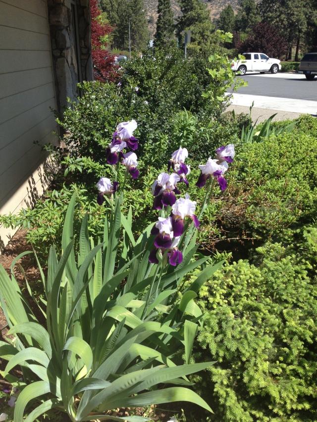 Calif Irises